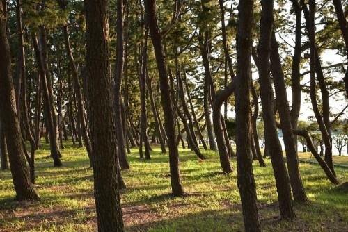 サイトの周りの松林