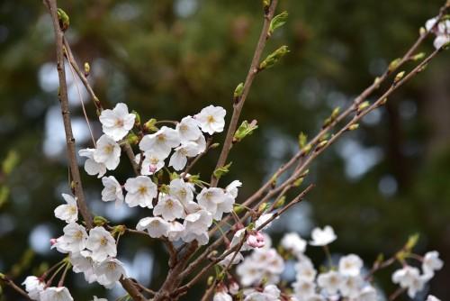 桜が咲いておった