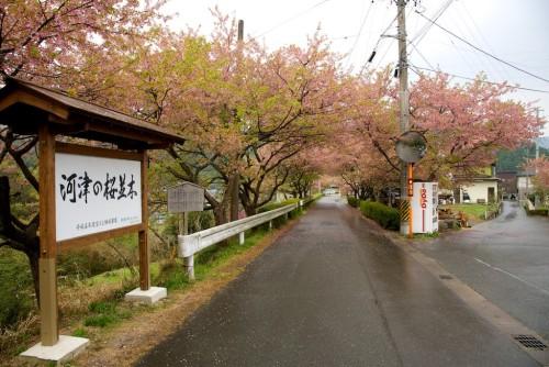 河津の桜並木、とある